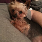 Augustus The Tiny Mighty Yorkshire Terrier Yorkie, Puppy Mill