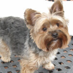Yorkie Dog Haircuts Yorkie Dogs, Yorkie, Yorkshire Terrier